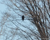 DSC_0994 Bald Eagle Feb 7 2012