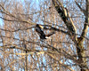 DSC_0983 Bald Eagle Feb 7 2012
