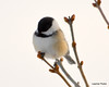 DSC_1892 Chickadee Feb 22 2013