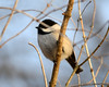 DSC_0965 Chickadee Feb 3 2013