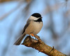 DSC_1139 Chickadee Feb 10 2013