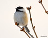 DSC_1891 Chickadee Feb 22 2013