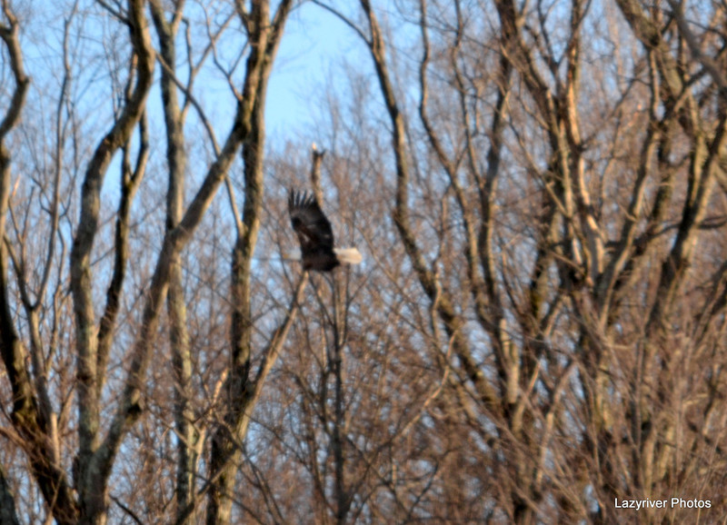 DSC_0982 Bald Eagle Feb 7 2012