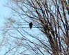 DSC_0989 Bald Eagle Feb 7 2012