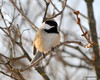 DSC_1019 Chickadee Feb 9 2013