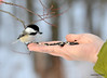 DSC_1924 Chickadee Feb 22 2013