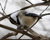 DSC_0867 Chickadee Feb 2 2013