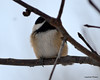 DSC_1021 Chickadee Feb 9 2013