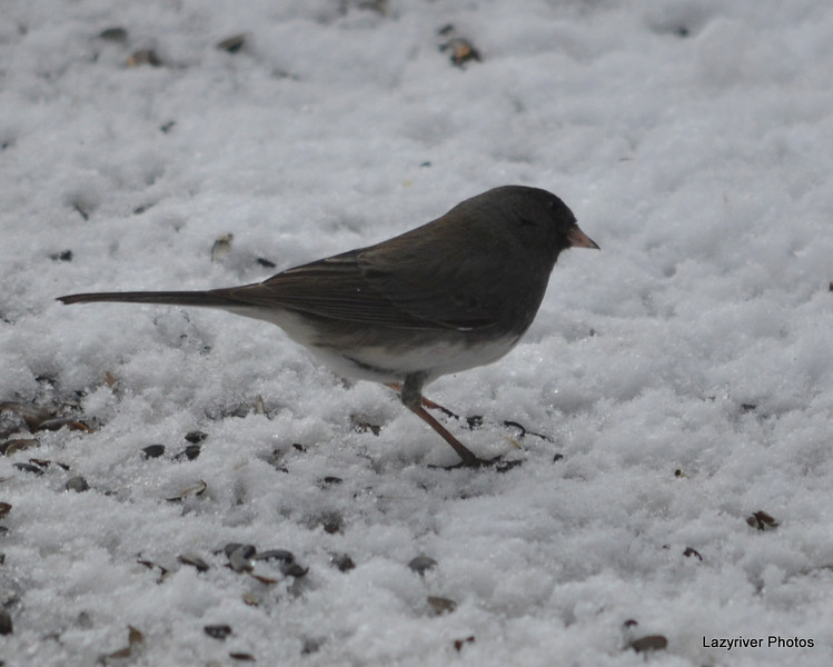 DSC_1167 Junco Feb 13 2013