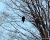 DSC_0990 Bald Eagle Feb 7 2012