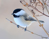 DSC_1889 Chickadee Feb 22 2013