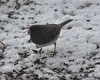 DSC_1165 Junco Feb 13 2013