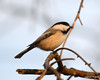 DSC_0967 Chickadee Feb 3 2013