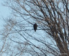 DSC_0993 Bald Eagle Feb 7 2012