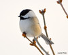 DSC_1893 Chickadee Feb 22 2013