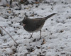 DSC_1163 Junco Feb 13 2013