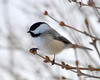 DSC_1888 Chickadee Feb 22 2013