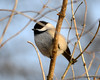 DSC_0964 Chickadee Feb 3 2013