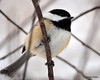 DSC_1020 Chickadee Feb 9 2013