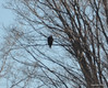 DSC_0991 Bald Eagle Feb 7 2012