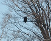 DSC_0992 Bald Eagle Feb 7 2012