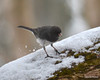DSC_1169 Junco Feb 13 2013