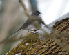 DSC_1171 Junco Feb 13 2013