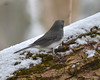 DSC_1170 Junco Feb 13 2013