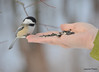 DSC_1926 Chickadee Feb 22 2013