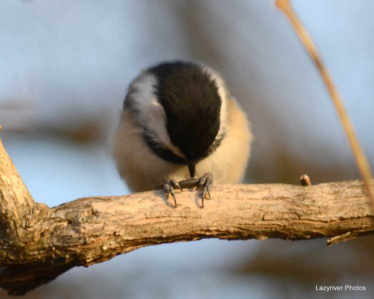 DSC_0966 Chickadee Feb 3 2013