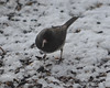 DSC_1164 Junco Feb 13 2013