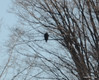 DSC_0996 Bald Eagle Feb 7 2012