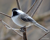 DSC_1172 Chickadee Feb 13 2013