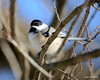 DSC_0615 Chickadee Jan 27 2013