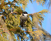 DSC_0618 Chickadee Jan 27 2013