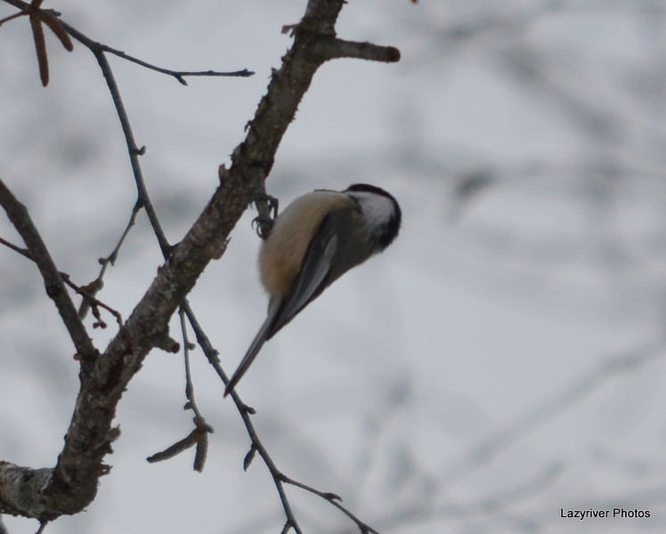 C_5749 Chickadee Jan 3 2012