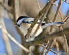 DSC_0613 Chickadee Jan 27 2013