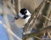 DSC_0614 Chickadee Jan 27 2013