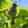 ESC_0026 Song Sparrow June 5 2013