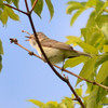 ESC_0677 Red-eyed Vireo June 18 2013