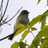 ESC_0672 Red-eyed Vireo June 18 2013