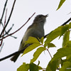 ESC_0674 Red-eyed Vireo June 18 2013