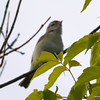 ESC_0673 Red-eyed Vireo June 18 2013