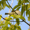 ESC_0675 Red-eyed Vireo June 18 2013