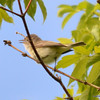 ESC_0676 Red-eyed Vireo June 18 2013