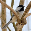 DSC_3427 Chickadee Mar 26 2013