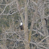 DSC_3517 Bald Eagle Mar 28 2013