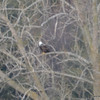DSC_3514 Bald Eagle Mar 28 2013
