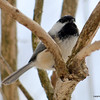 DSC_3425 Chickadee Mar 26 2013