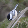 DSC_2953 Chickadee Mar 15 2013